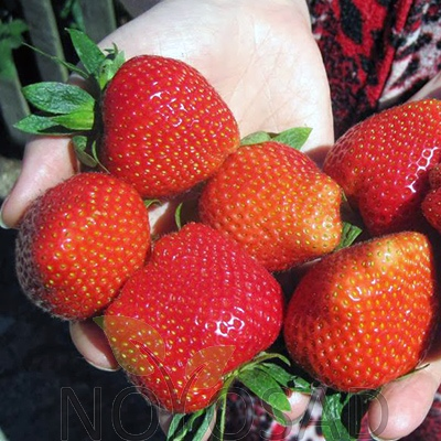 Darselect Strawberry Дарселект клубника)